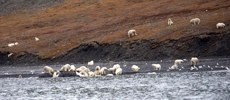 200-polar-bears-crowd-to-feast-on-carcass-of-whale-that-washed-ashore